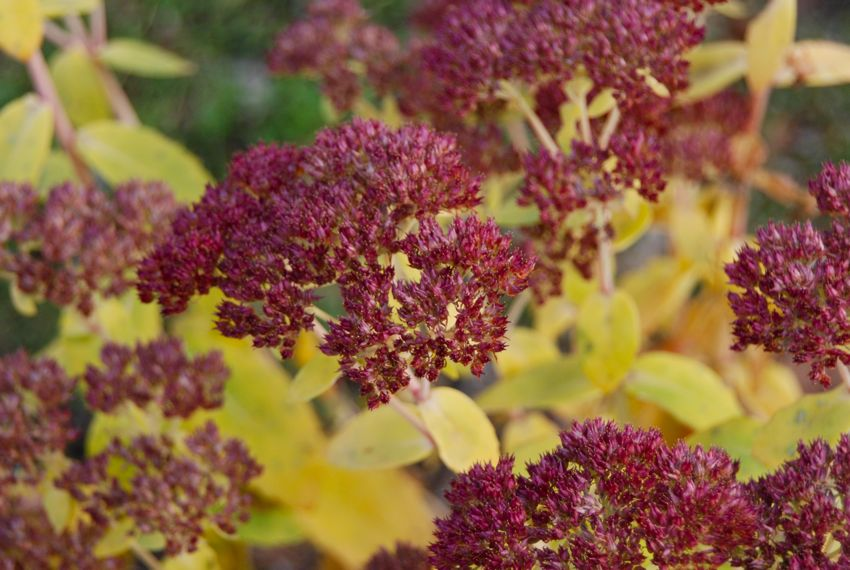 Sedum 'Autumn Joy' with its bright autumn foliage around our Circle Lawn.