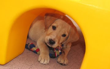 A yellow Lab puppy peeking underneath a playground slide