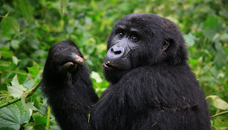 5 Days Uganda and Rwanda Gorilla Tracking Safari life Time Experience