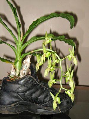 Orquídea plantada no tênis.