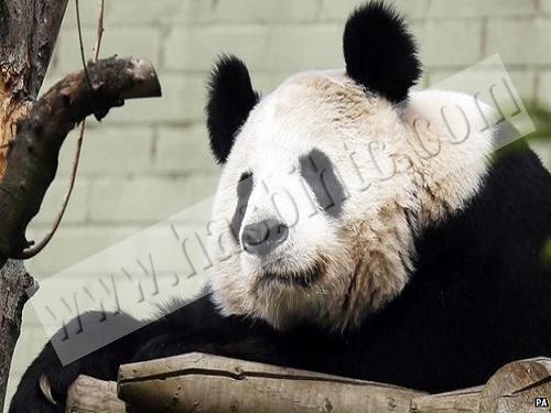 Mengenal Lebih Dekat Dengan Hewan Panda
