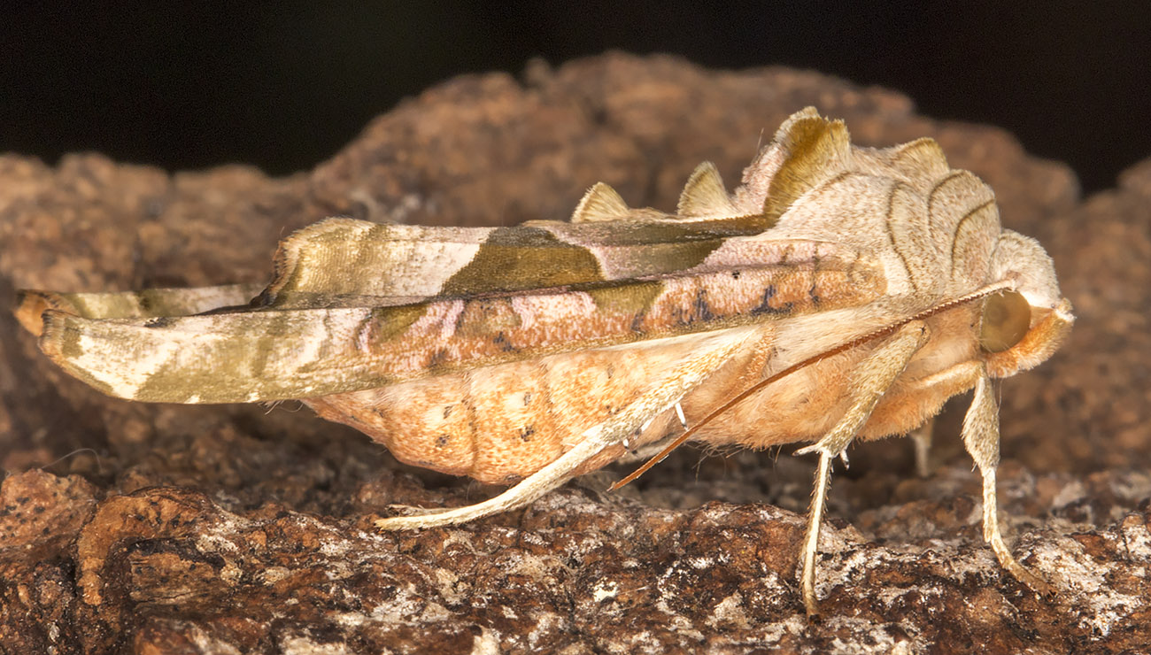 Angle Shades, Phlogophora meticulosa.  Near my light trap in Hayes on 21 May 2014.