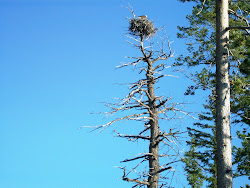 Nesting Eagle in Yellowstone