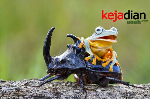 Cowboy frog enjoys his own little rodeo