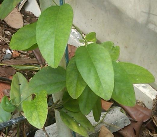 Pohon cincau daun panjang.