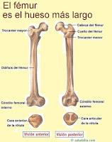 el femur es el hueso mas largo del cuerpo