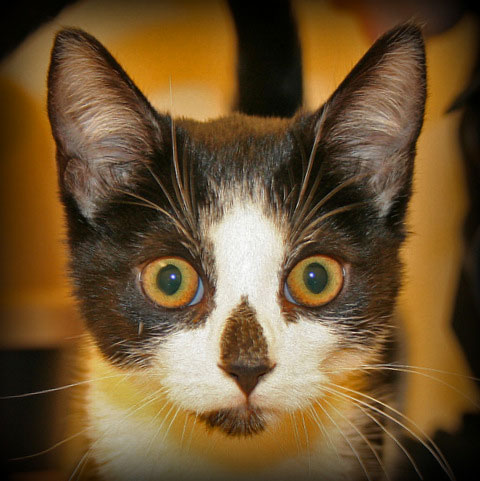symmetrical random bred cat photo copyright cuyahoga falls veterinary clinic