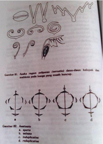 Hairiani miiyanni morfologi tumbuhan tentang bunga k terlipat menurut poros lintang ke luar vernatio reclinata ccuart Image collections