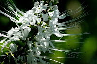 Benefits of cat's whiskers to treat gout
