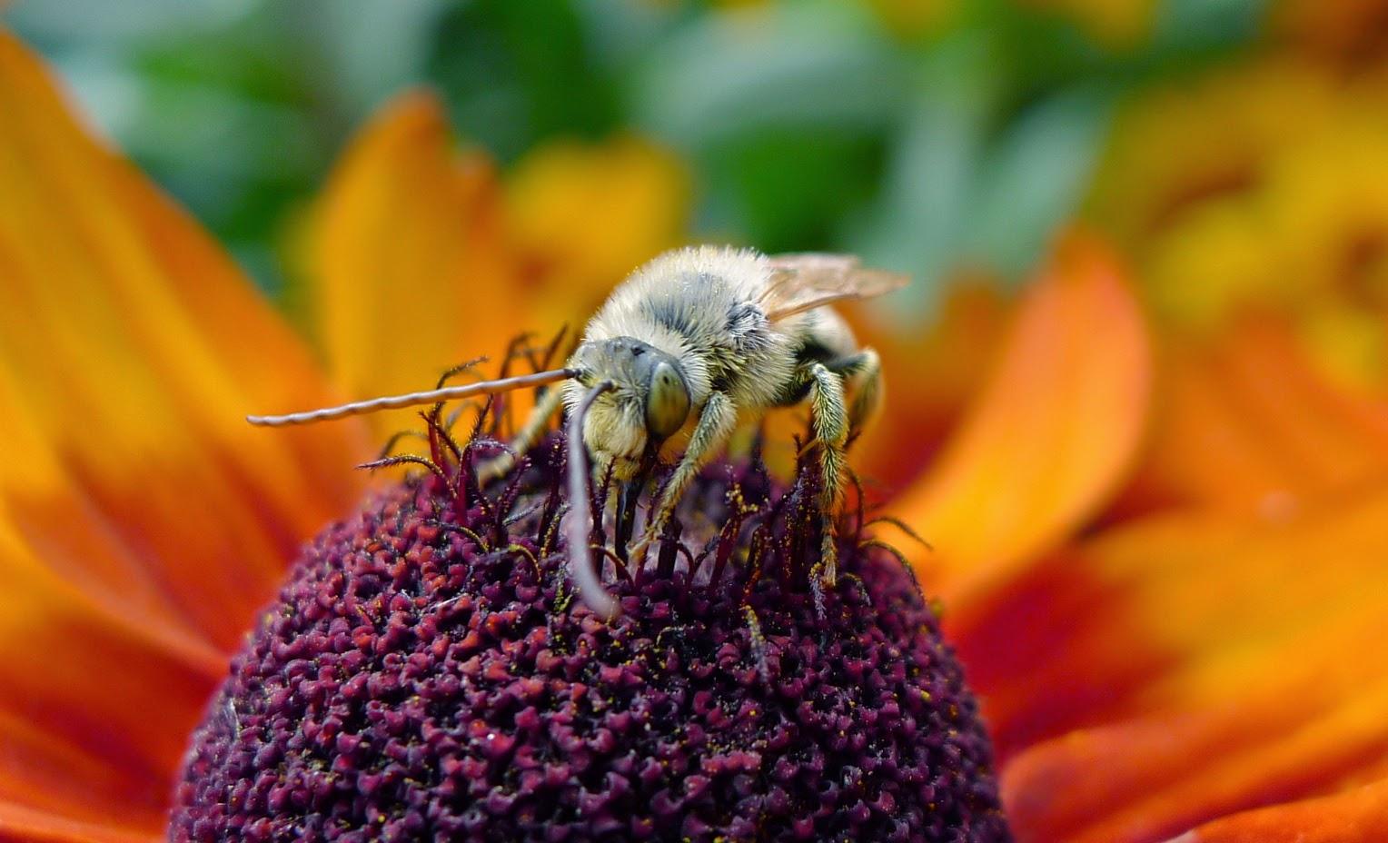 Long-horned Bee on Rudbeckia, gardening, pollinators, urban farming