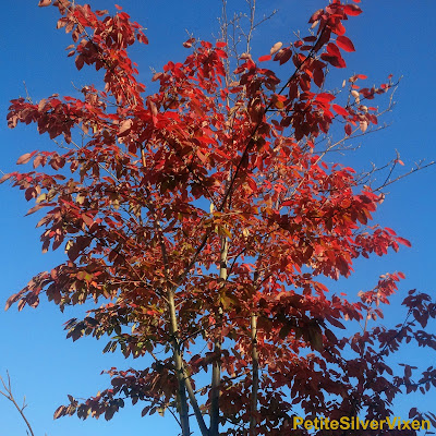 Tree in Autumn with Cinnamon & Red coloured Leaves | Petite Silver Vixen