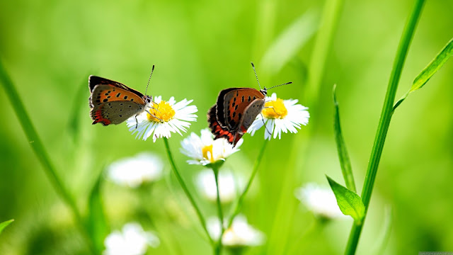 Butterflies HD Wallpaper