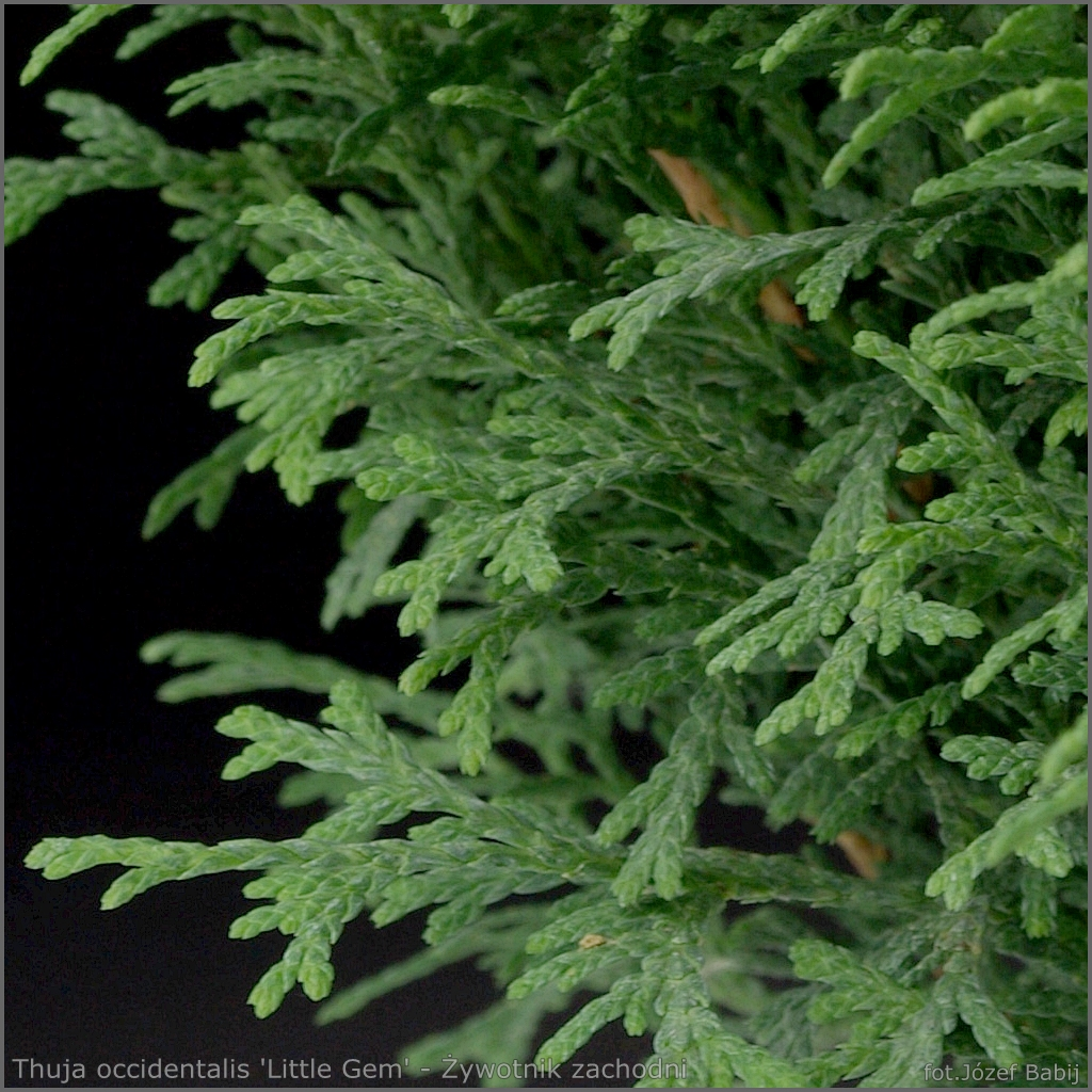 Thuja occidentalis 'Little Gem' - Żywotnik zachodni 'Little Gem'