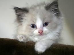 anak kucing ragdoll