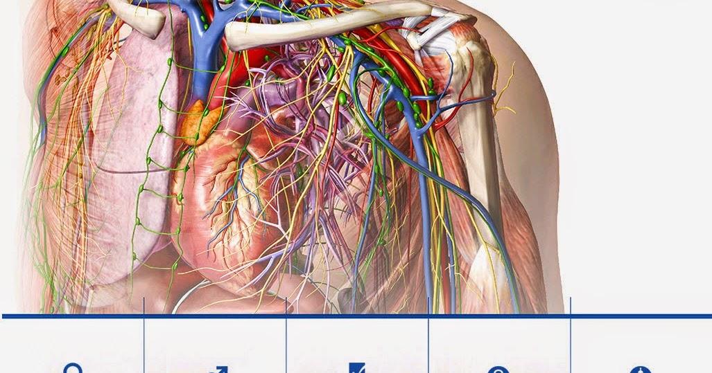 Ziemlich Visible Body Human Anatomy Atlas V3 0.1 Galerie ...