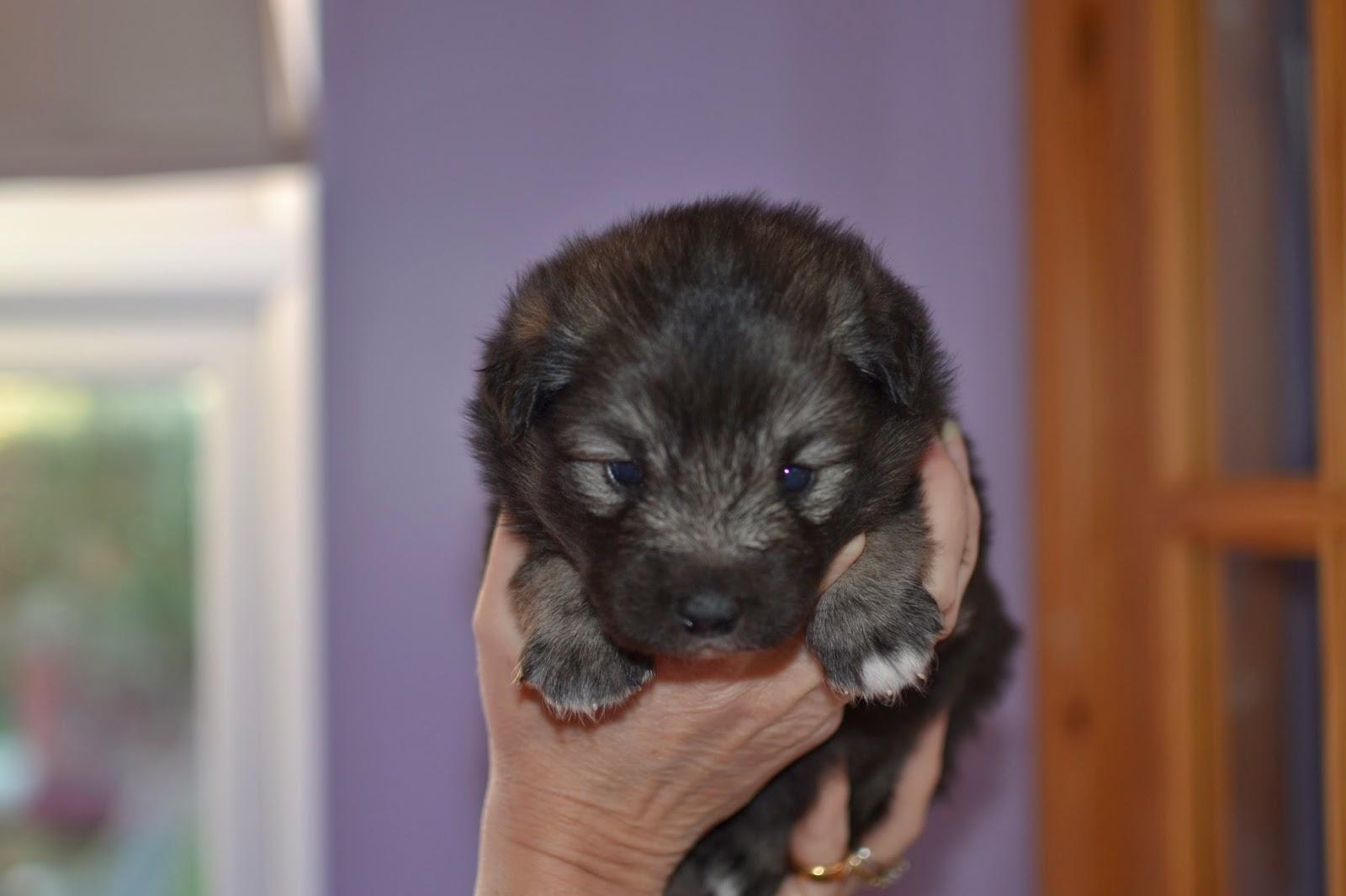 finnish lapphund puppy at elbereth