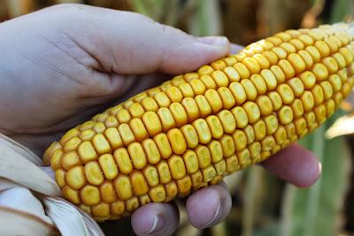 Corn - August 2012