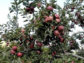 apple garden_Arunachala Pradesh
