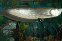 jenis ikan black arwana