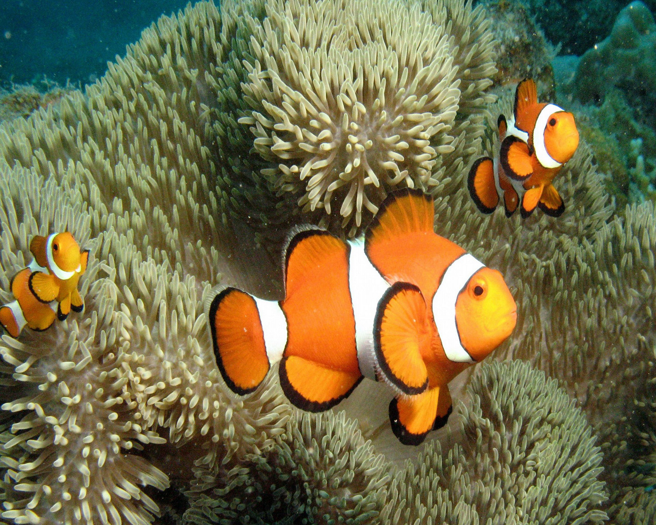 Clown fish fun animals wiki videos pictures stories for Pictures of clown fish