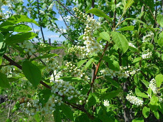 15 мая, цветущая черемуха