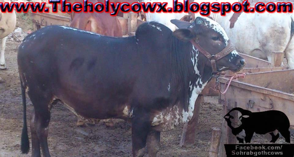 Faiz Cattle Farm 2013 Cow - Sohrab Goth Gai Mandi