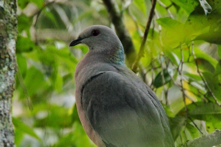 Paloma jamaicana, Patagioenas caribaea