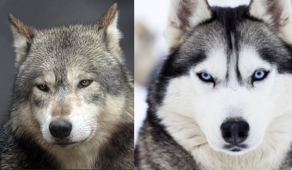 Gray Wolf Pets Gray Wolf The Species Canis