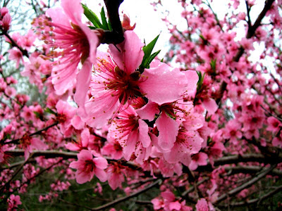 Image result for trees in bloom