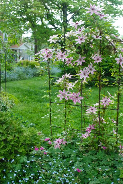 One of the three trellises around the Circle Lawn. This one is covered in Clematis 'Nelly Moser', which took a journey across PA to arrive here.