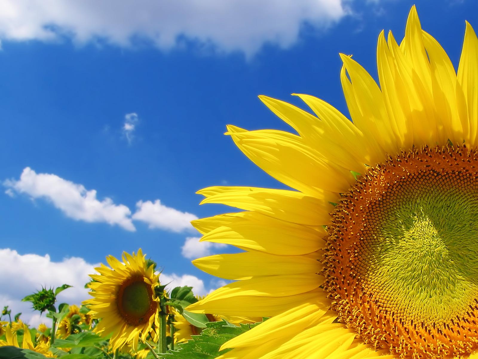 http://1.bp.blogspot.com/-HoOXLAdh-mg/TishZrVWWBI/AAAAAAAACNw/3uRmmvBXIdY/s1600/sunflower%2Bwallpaper%2Bhd%2B2.jpg