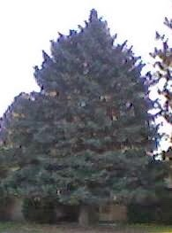 Christmas Tree. memory, spruce, City of caldwell