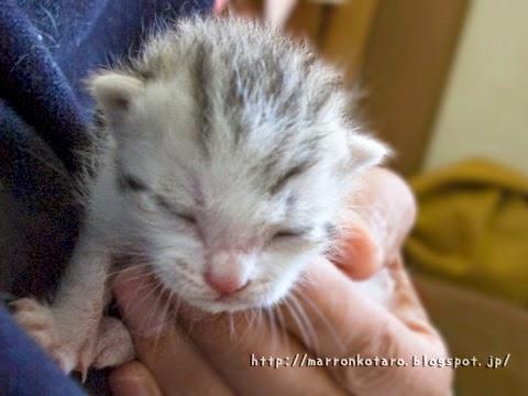 目が開いていない赤ちゃん猫 横耳