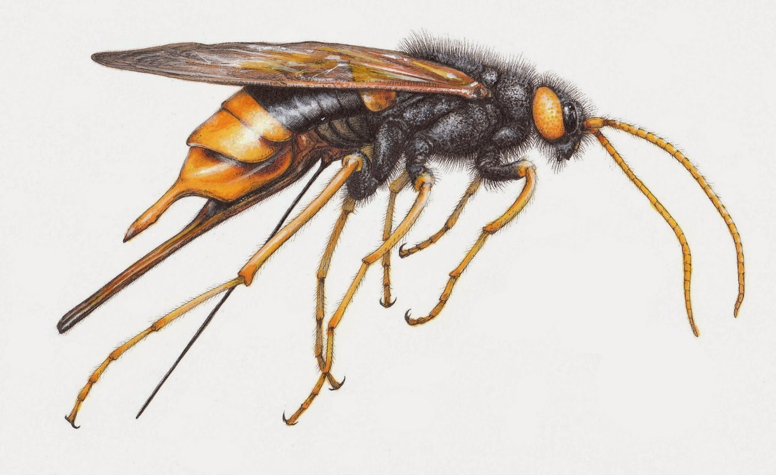 Insects of Britain: Giant Wood Wasp / Horntail