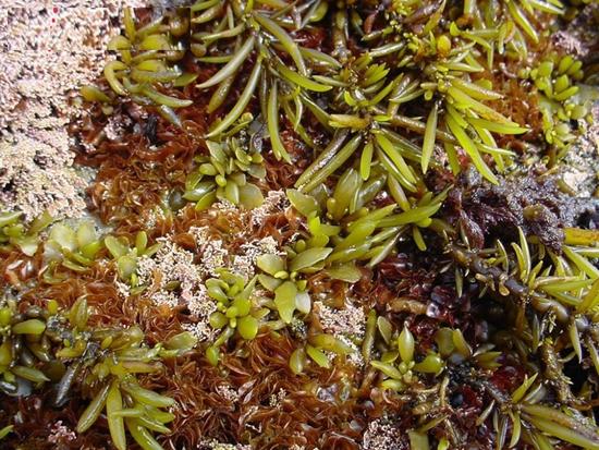 Sargassum fusiforme (Harv.) Setch. (Fam. Furaceae).