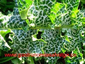 Card marià, planta depurativa