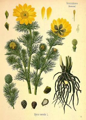 Адонис весенний (Adonis vernalis L.), ботанический рисунок