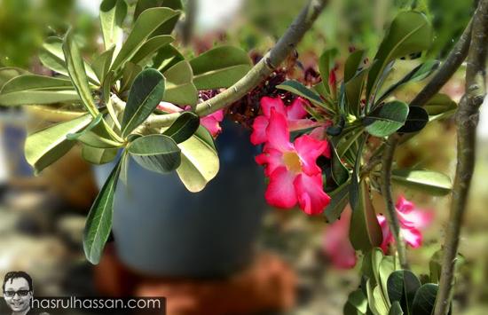 Pokok Bunga Kemboja Cina