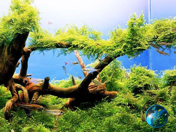 Christmas Moss - Live Aquarium Aquatic Plant for Fish Tank Flora ...