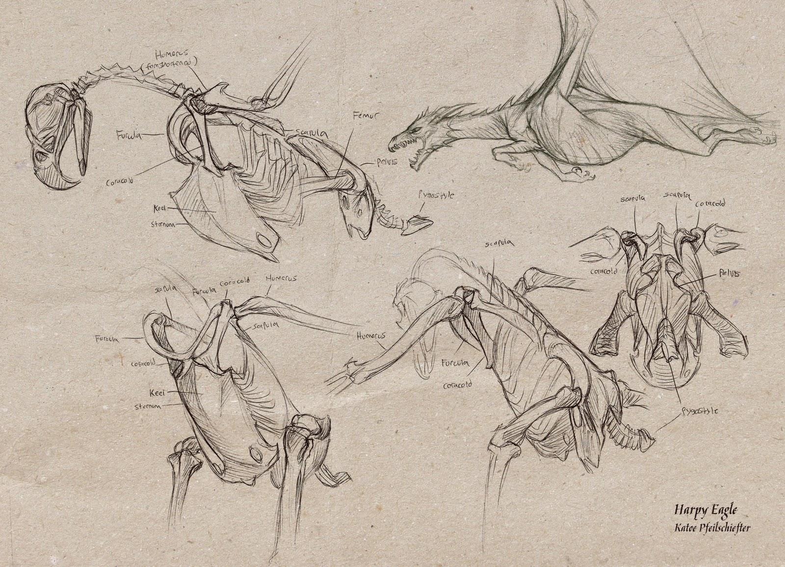 Harpy Eagle Anatomy Bald Diagram Http Wwwexploringnatureorg Graphics Bw Photo7