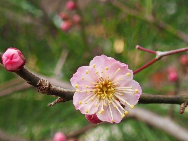 一重の淡桃色の梅。