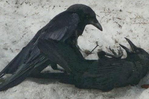 Subhanaallah, keajaiban burung gagak