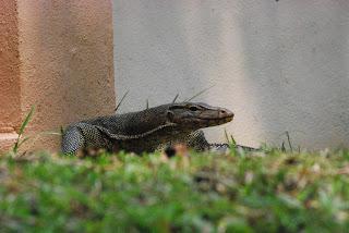 Urban Monitor Lizard - Malaysia