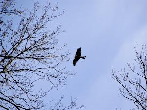 Red Kites overhead