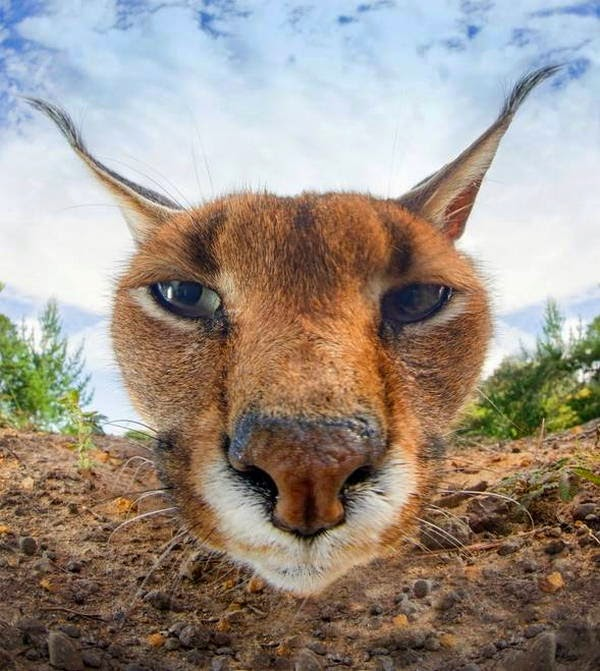Funny animals of the week - 28 March 2014 (40 pics), close up caracal