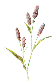 flower digital illustration wildflower