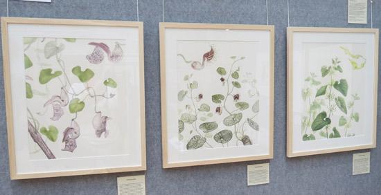 Three watercolour paintings of Aristolochias of British Botanic Gardens by Laura Silburn GM