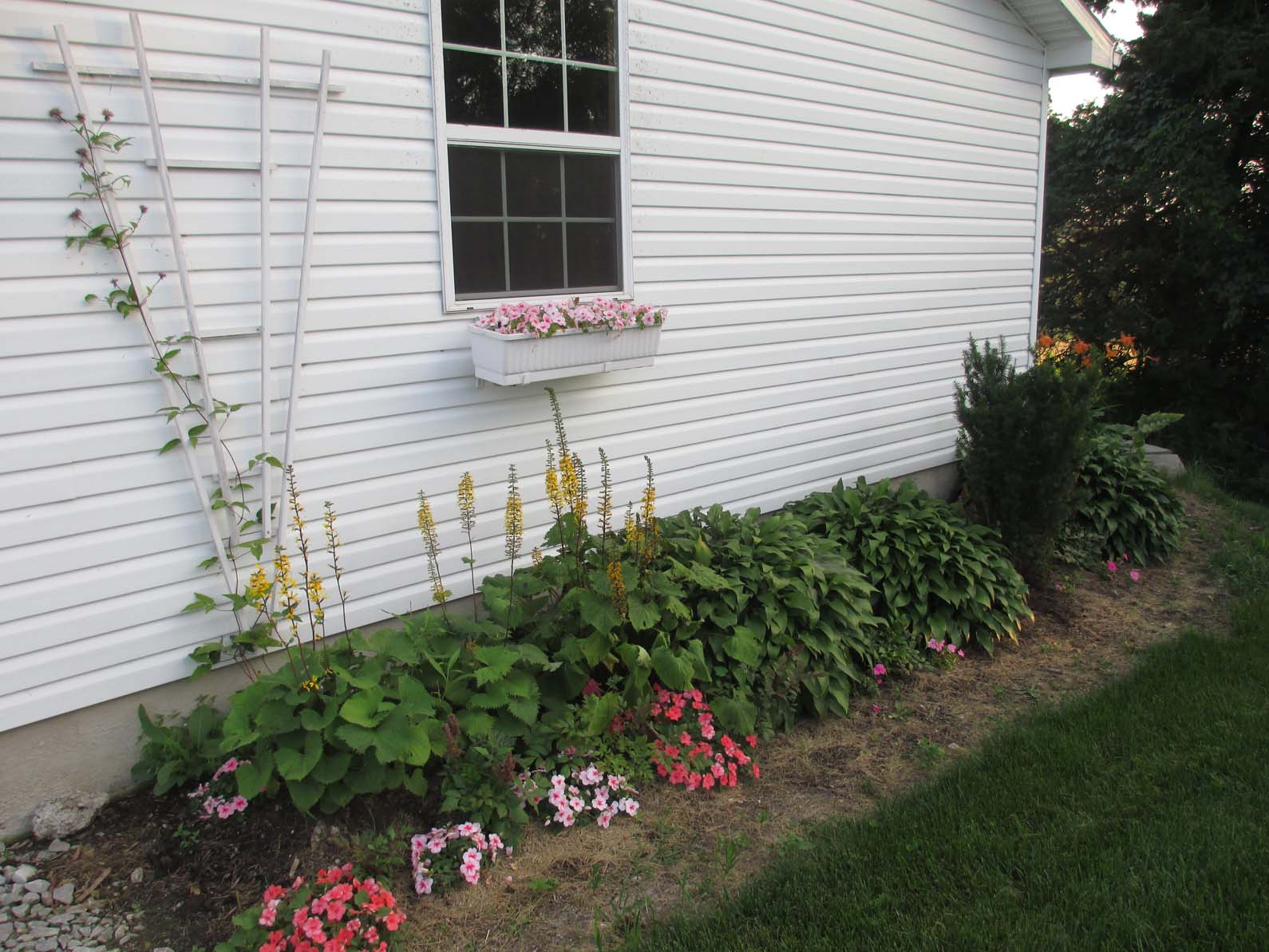 Landscaping On North Side Of House : The front north side of our garage planted with clematis ligularia