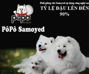 PôPô Samoyed