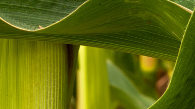 the sensuous green curve of corn leaves at harvest